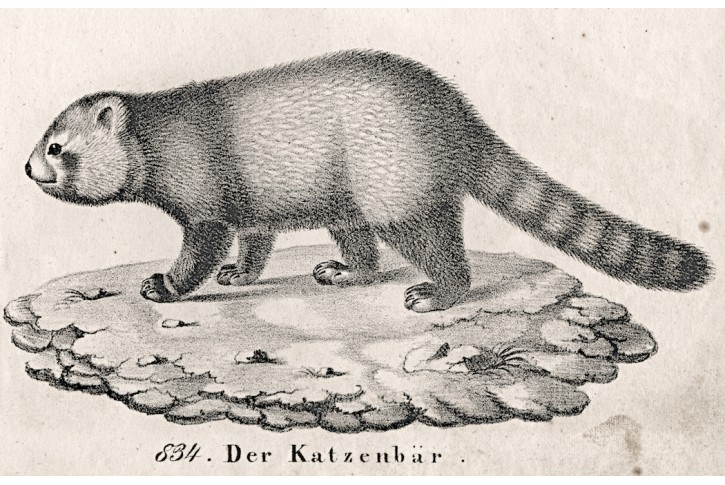 Author unknown, Red Panda, 1837