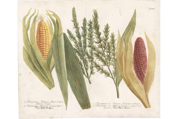 Kukuřice,  Weinmann, kolor. mědiryt, 1742