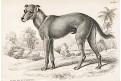 Divoký pes St. Domingo, kolor. dřevoryt , 1843