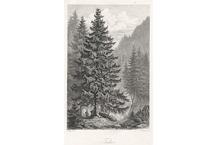 Smrk, Rossmässler, oceloryt, 1863