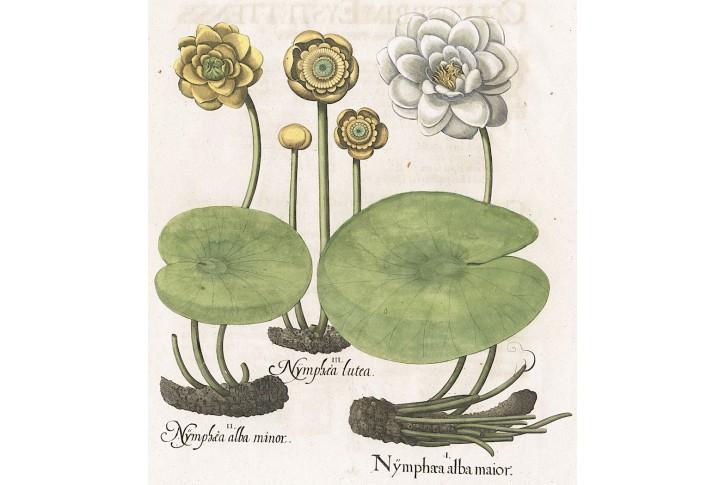 Leknín, Besler, kolor. mědiryt, 1640