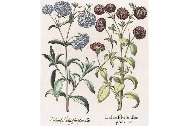 Lichnis Sylvestris, Besler, kolor. mědiryt, 1640