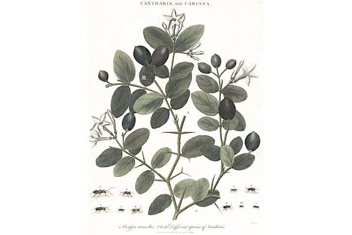 Carissa carandas, kolor mědiryt, 1810