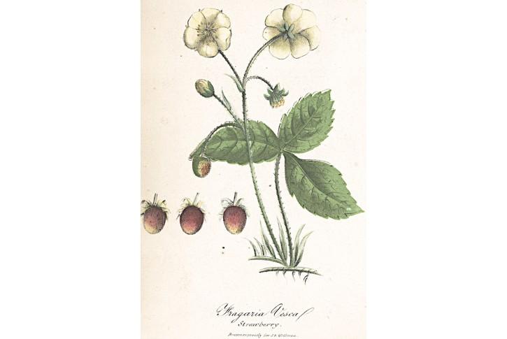 Jahodní obecný jahody, kolor litografie, 1880