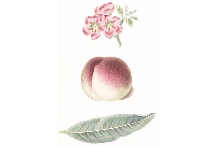 broskev, akvatinta, 1820