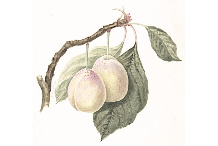 Blumy, kolor. litografie, 1845