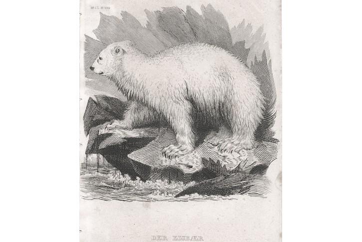 Medvěd lední Meyer, oceloryt, (1860)