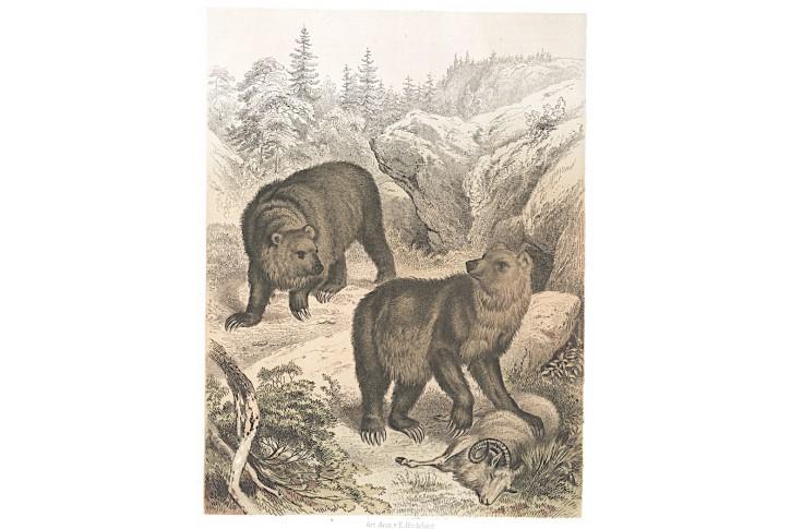 Medvěd, kolor. litografie , 1866