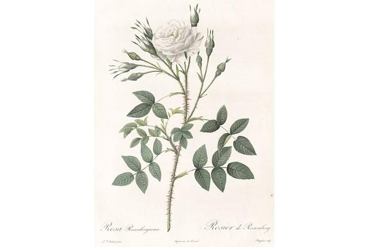 Růže bílá, Redouté, kolor mědiryt, 1824