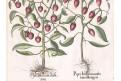 Chilli papričky, Besler, kolorovaný mědiryt, 1640