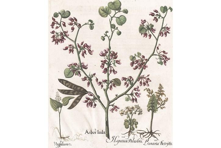 Zmarlika Jidášova, Besler, kolor. mědiryt, 1713
