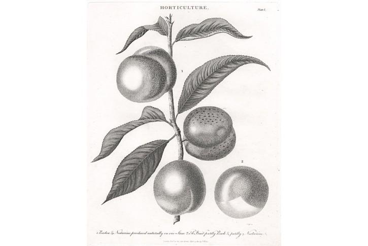 Nektarinka, Wilkes , mědiryt, 1810