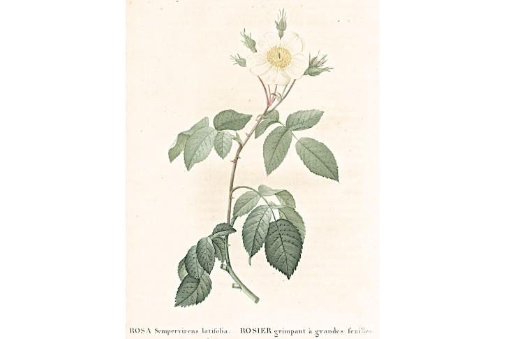 Růže Sempervirens, Redouté, kolor mědiryt, 1824