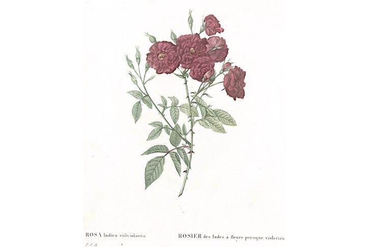Růže indická, Redouté, kolor mědiryt, 1824