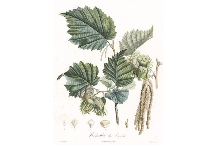 Lískové ořechy, Langlois, kolor. mědiryt, 1835