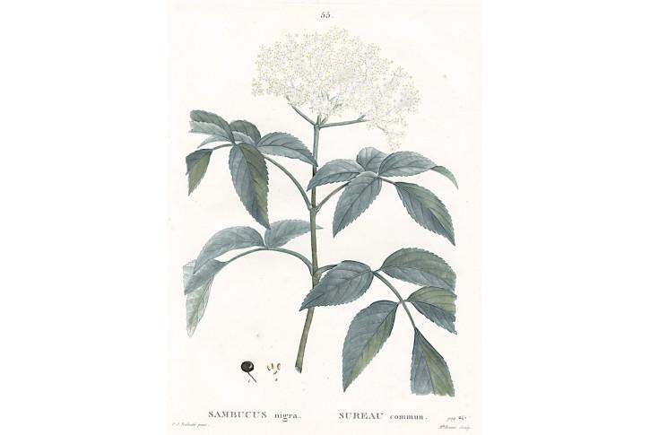 Bez černý, Redouté, kolor mědiryt, 1819