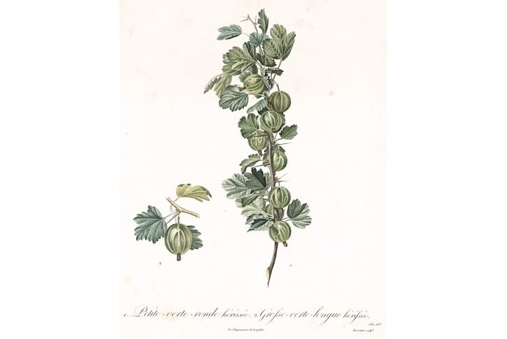 Angrešt, Langlois, kolor. mědiryt, 1835