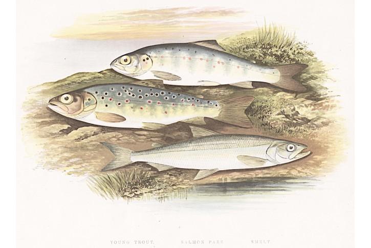 pstruh a losos, kolrovaná litografie, 1860