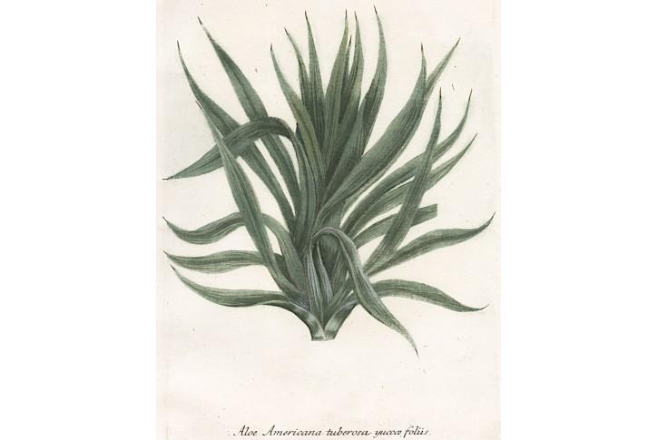 Aloe Americana, Weinmann, kolor. mědiryt, 1742