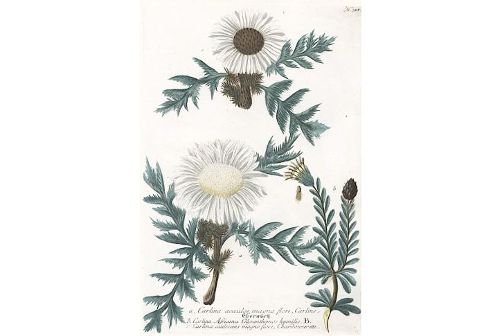Pupava, Weinmann, kolor. mědiryt, 1742