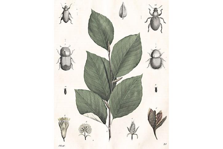 Buk, kolor. litografie, 1846