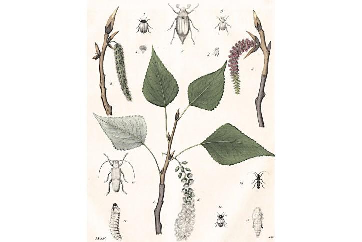 Topol,  kolor. litografie, 1846