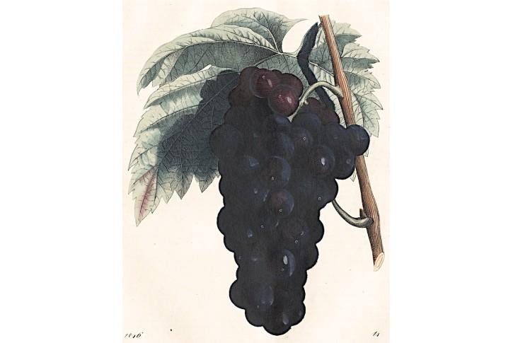 Vinný hrozen, kolor. litografie, 1846