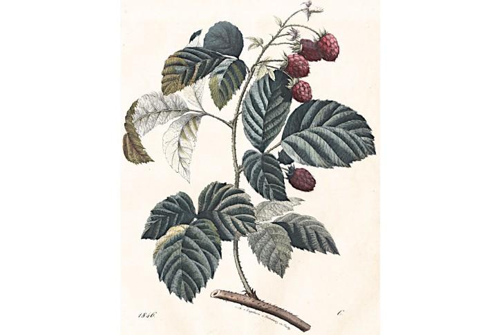 Ostružiny kolor. litografie, 1846
