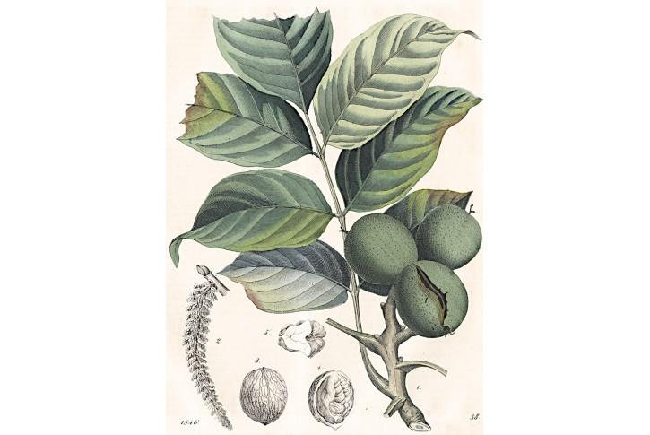 Vlašský ořech, kolor. litografie, 1846