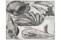 Mušle Conchilia, Besler, mědiryt, 1622