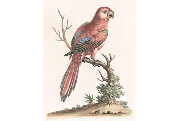 Lori červený, Edwards, kolor. mědiryt 1743