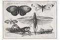 Hollar V.: Motýlii, mědiryt, 1646
