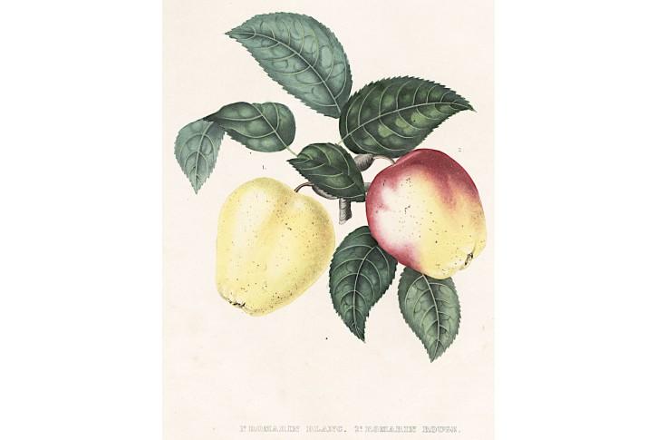 Jablka, litografie, (1860)