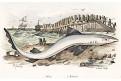 Žralok, kolor. litografie, 1833