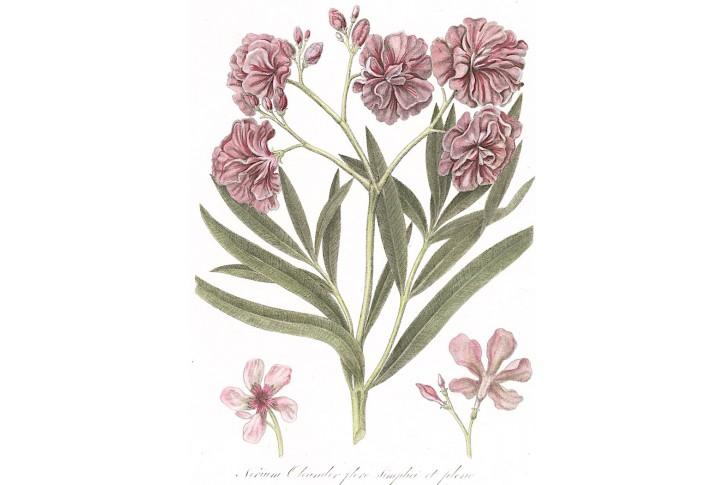 Oleander, Serantoni, kolor mědiryt, (1810)